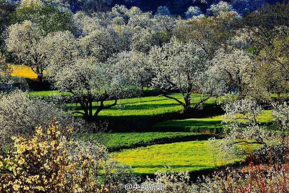 近日,云南大理鹤庆奇峰村,一树树梨花竞相绽放,绚烂的花海与绿草蓝天