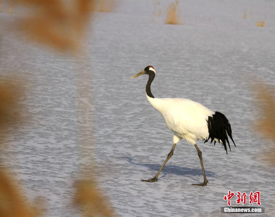 自然保护区引进14只国家一级保护动物丹顶鹤和2只