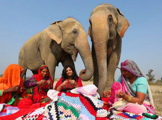印度妇女为大象织毛衣抵御寒夜的折磨(3)