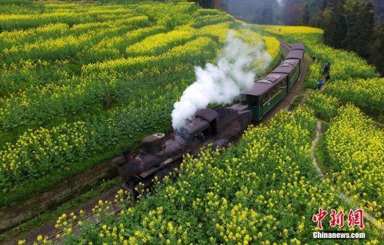 3月初,又是一年春暖花开,四川犍为被誉为工业活化石的蒸汽小火车迎春运,海内外游客乘坐火车畅游花海,青山花海间一片欢声笑语。嘉阳蒸汽小火车轨距仅762毫米,采用人工加煤、制动、扳道、挂钩等原始操作方式,是世界上唯一还在正常运行的客运窄轨蒸汽小火车。图为穿越油菜花海的蒸汽小火车。中新社记者 刘忠俊 摄 [上一页] [1] [2] [3] [4] [5] [6]