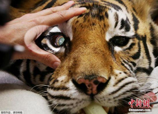 zambi野生动物园的孟加拉虎indira接受