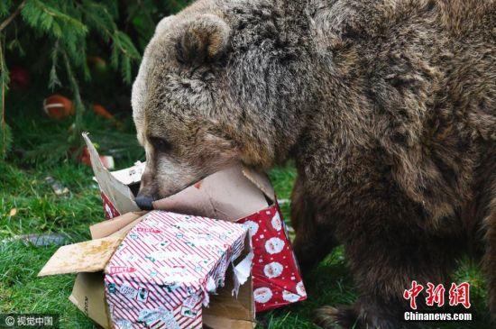 英国动物园提前迎圣诞节 可爱棕熊兴奋拆礼物