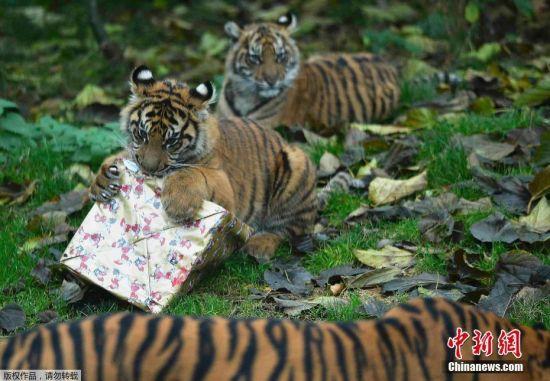 """伦敦动物园发放圣诞礼物 霸气小老虎""""怒拆""""礼物"""