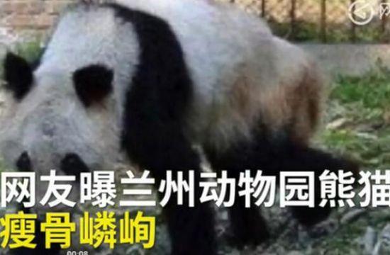 """继有人曝光兰州动物园大熊猫""""蜀兰""""身上带伤"""