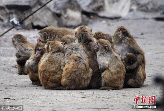 在郑州动物园猴山内,百余只猕猴面对寒冷也选择了抱团取暖.
