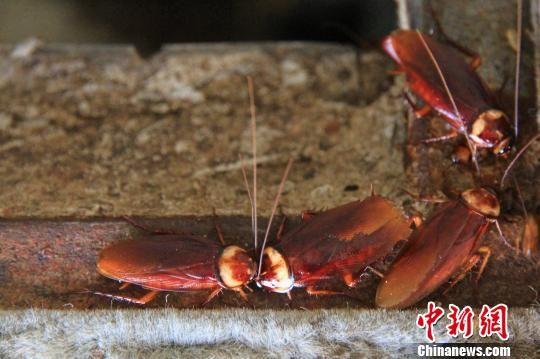 山东章丘养殖蟑螂吃餐厨垃圾:设置三重防逃逸体系