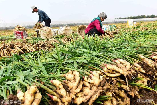 潍坊:农民金秋时节收姜忙