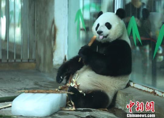 """40天""""加长版""""三伏天到来 动物园大熊猫拥冰解暑"""
