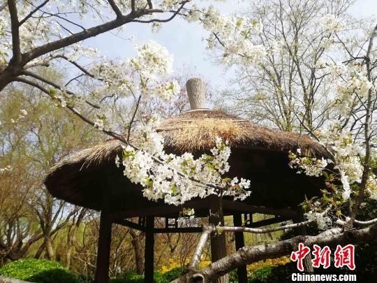 游人或在樱花树前驻足观赏,或带着摄像机捕捉樱花盛开的靓丽景色.